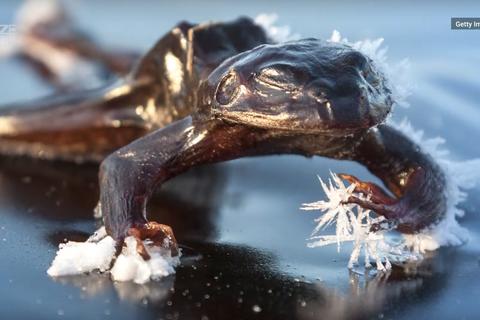Loài ếch có khả năng đóng băng và rã đông cơ thể để sinh tồn