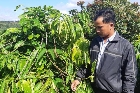Bức xúc khi gần 600 cây cà phê bị kẻ xấu ngang nhiên hái trộm