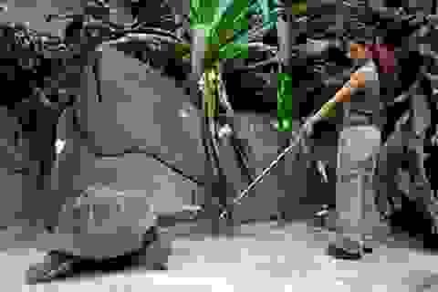 Rùa khổng lồ có thể được huấn luyện và ghi nhớ các kỹ năng trong nhiều năm