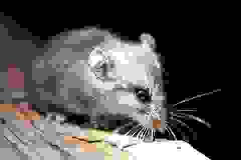Khả năng đặc biệt của chuột khi bị giữ trong bóng tối thời gian dài
