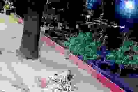 """Video: Báo hoa mai """"tàng hình"""" cắn cổ chó đi lạc trên vỉa hè Ấn Độ"""