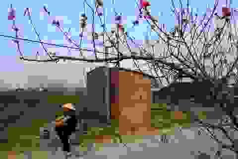 Hoa đào nở sớm khoe sắc đỏ rực vườn đào Nhật Tân