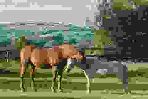 """""""Giải mã"""" cách loài ngựa có thể đứng thẳng ngay trong lúc ngủ"""