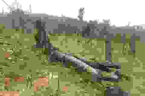 Quảng Bình: Dân và người nhà cán bộ ồ ạt chặt phá rừng tự nhiên để trồng keo