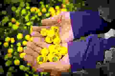 Hái hoa cúc về sấy khô, mỗi kg bán giá lên đến 800 nghìn đồng