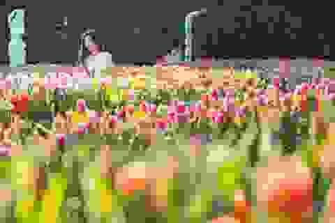 Tết đến Bà Nà, chiêm ngưỡng 1,5 triệu bông tulip khoe sắc