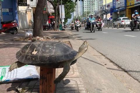 """Cuối năm 1 con rùa to """"khổ sở"""" vì bị bày bán công khai trên phố"""