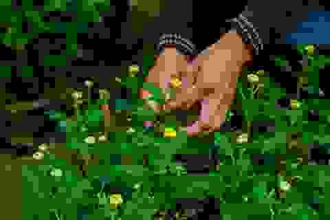 Ngắt nụ hoa cúc, sinh viên Đà Nẵng kiếm tiền triệu mùa Tết