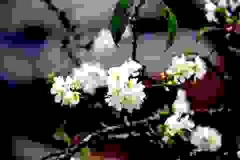 Ngắm thiên đường hoa mận nở nơi Mường Lống những ngày cuối năm