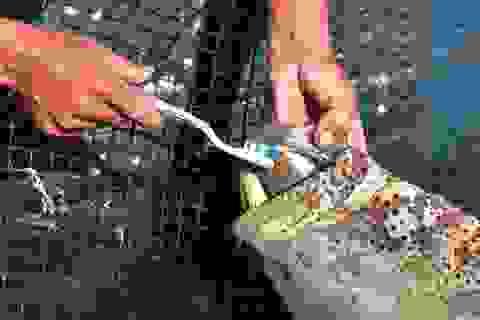 """Chuyện lạ tại Quảng Ninh: Cá song """"mê"""" đánh răng, thích vuốt ve, """"trò chuyện"""" với người"""