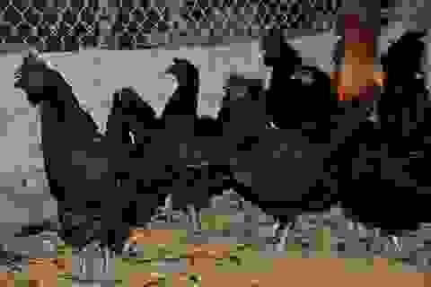 Trại gà H'Mông cháy hàng ngày cận Tết
