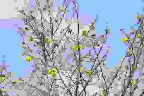 Mê mẩn với cây mai cổ thụ hơn 40 năm tuổi có giá 100 triệu đồng
