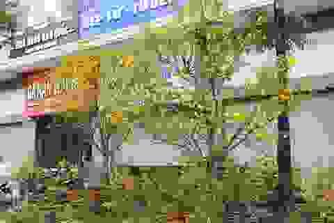 Chiêm ngưỡng những cây mai vàng giá hàng trăm triệu ở Hà Nội