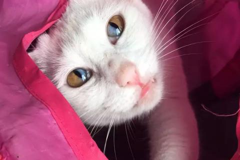 Mèo trắng có tròng mắt 2 màu cực hiếm
