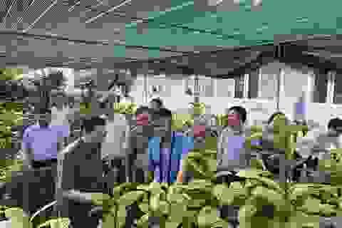 Bí ẩn loài trà hoa vàng chữa bách bệnh quý hiếm ở Ninh Bình