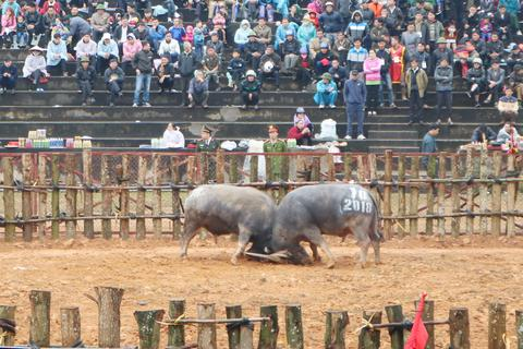Tạm ngừng tổ chức Lễ hội chọi trâu Phù Ninh, phòng chống dịch virus Corona