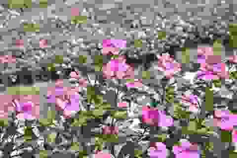 Ngất ngây với cánh đồng hoa dừa cạn ở An Giang