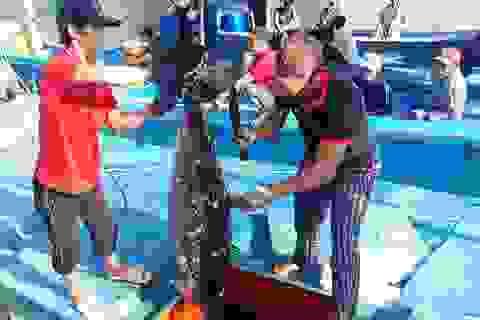 Giá cá ngừ đại dương thấp, ngư dân đánh bắt xuyên Tết thất thu