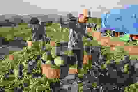 """Gia Lai: Hàng chục tấn dưa hấu được """"giải cứu"""" với giá cao"""