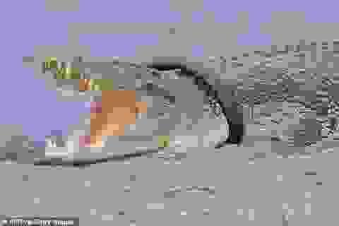 """Kế hoạch giải cứu cá sấu """"tầm cỡ quốc tế"""""""