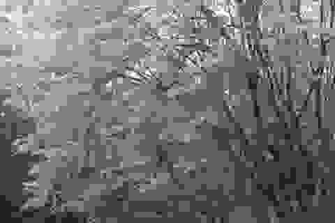 Ngắm hoa sưa nở trắng trời Hà Nội