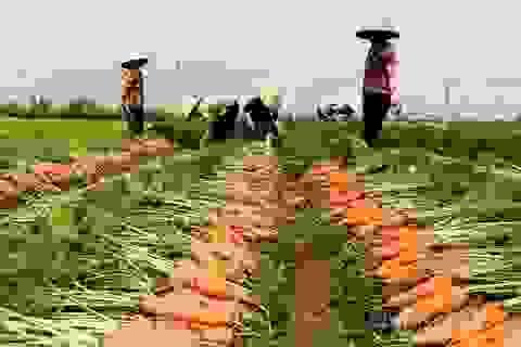 Cánh đồng 100 tỷ đồng rực một màu đỏ hiếm có Việt Nam