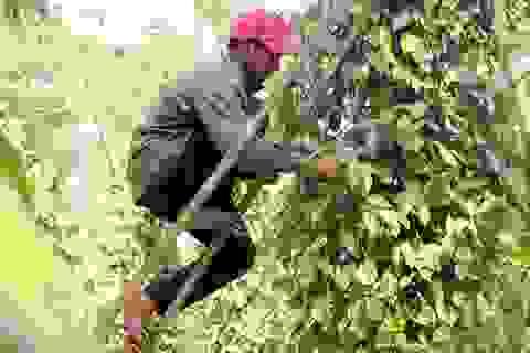 Người làm nghề trồng tiêu điêu đứng vì mức bán thấp, giá công hái cao