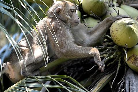 Chú khỉ giúp chủ hái 1000 quả dừa mỗi ngày