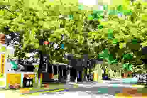 Hoa sưa nở vàng rực phố cổ giữa mùa dịch Covid-19