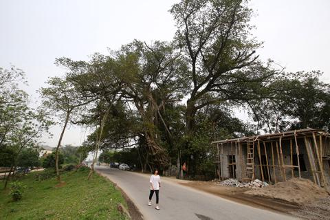 """Chuyện ít người biết về cây đa """"khổng lồ"""" ở xã Viên Nội"""