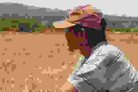 """Đồng ruộng bỏ hoang, lúa """"tắc"""" đòng vì khô hạn"""