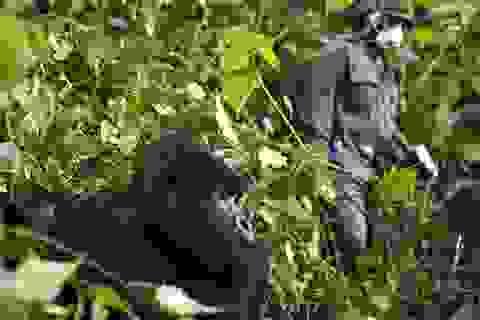 Khỉ đột núi ở châu Phi đối mặt với nguy cơ nhiễm coronavirus