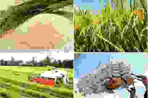 Bộ Nông nghiệp nỗ lực đảm bảo kế hoạch sản xuất lúa gạo mùa dịch