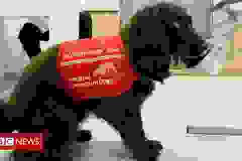 Tổ chức Anh huấn luyện chó đánh hơi ra người mắc Covid-19