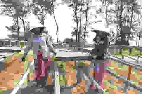 Đỏ lửa làng nghề hấp cá ở Bình Minh