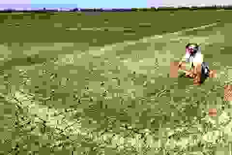 Vựa lúa lớn nhất nước - Sông cạn trơ đáy, lúa chết trơ gốc!