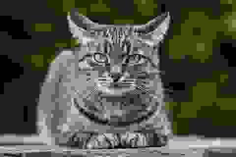 Lần đầu tiên mèo bị nhiễm Covid-19 từ chủ ở Bỉ