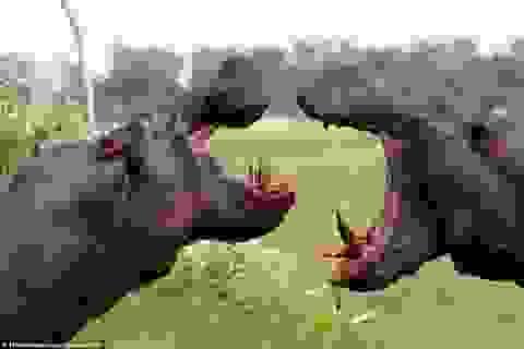 Cuộc chiến giành lãnh địa đẫm máu giữa hai con hà mã khổng lồ