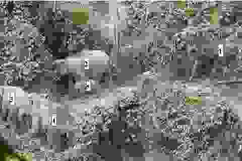 Quảng Nam lần đầu ghi nhận cá thể voi con khoảng 1 tuổi