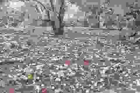 Mưa đá to bằng ngón chân cái, mận đang thu hoạch ở Sơn La rụng kín vườn