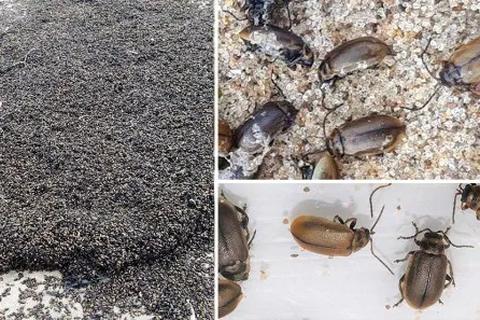 Bí ẩn hàng triệu con bọ phủ kín bãi biển