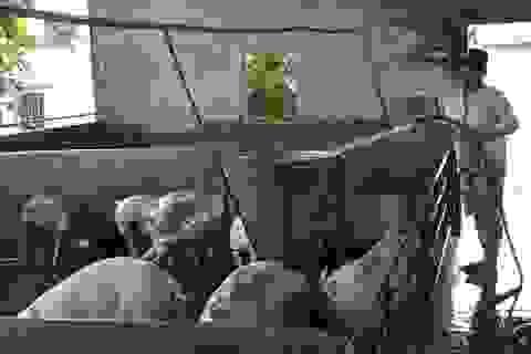Giá thịt heo tăng cao chót vót: Người nuôi lý giải ra sao?