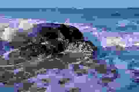 Rùa biển phát triển mạnh nhờ các biện pháp hạn chế Covid-19