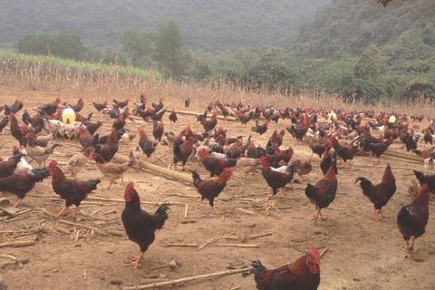 """Ế vạn con gà ri, càng nuôi càng lỗ mong chờ """"giải cứu"""""""