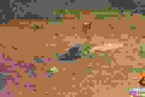 Video: Sóc đất kịch chiến với hổ mang chúa suốt nửa giờ và kết cục