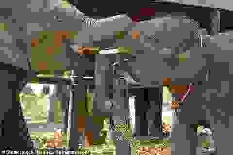 Vì sao voi không uống được rượu?