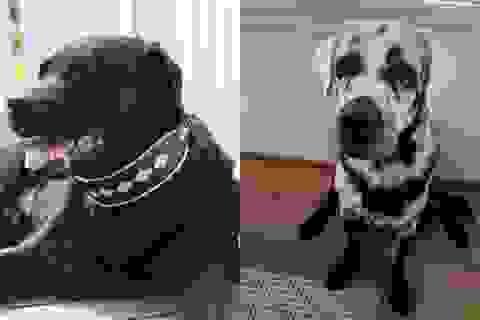Chú chó nổi tiếng vì từ màu đen tuyền thành khoang đen trắng