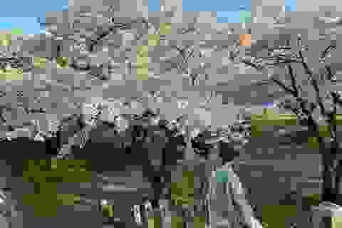 Choáng ngợp cảnh sắc hoa anh đào khoe sắc tuyệt đẹp như cổ tích ở Nhật Bản