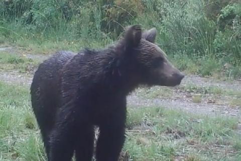 Gấu nâu đầu tiên sau 150 năm được phát hiện tại Tây Ban Nha