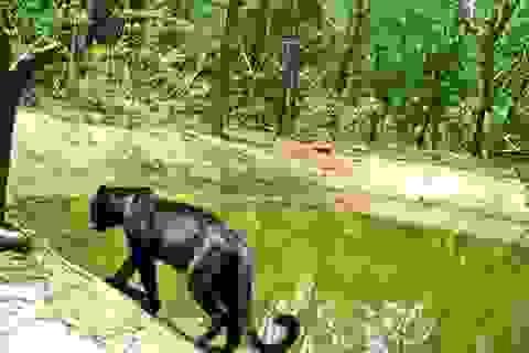 Báo đen hiếm gặp lọt vào máy quay ở khu bảo tồn Goa - Ấn Độ